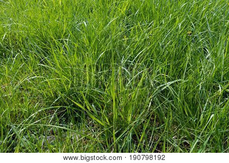 Long Lush Green Grass In Bright Sunlight