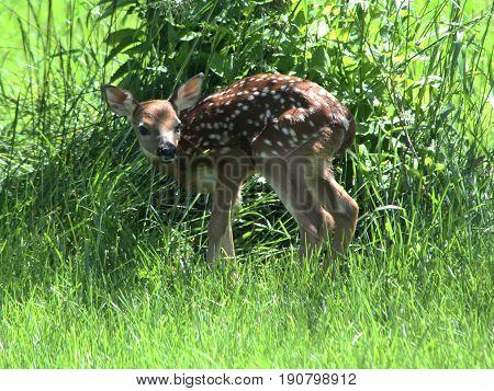 Newborn Baby Fawn Deer Standing in Grass