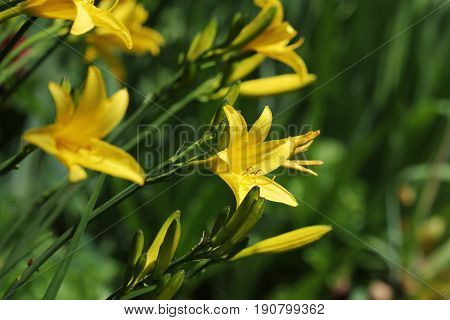 Yellow Day lily flower or Hemerocallis blooming .
