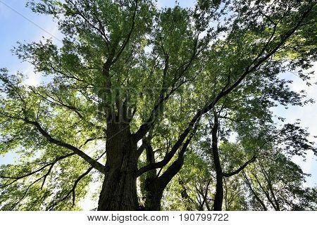 Giant tree under blue sky in summer