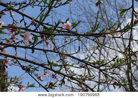 Lots Of Flowers On Braches Of Prunus Persica