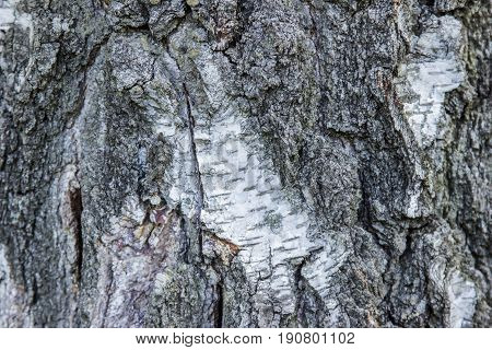 Birch Bark Texture Natural Background Paper Close-up .birch Tree Wood Texture . Pattern Of Birch Bar