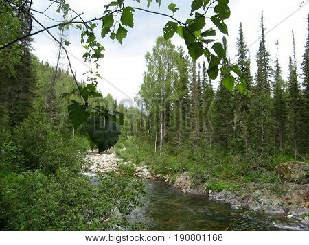 View of a mountain stream in the taiga through birch branches