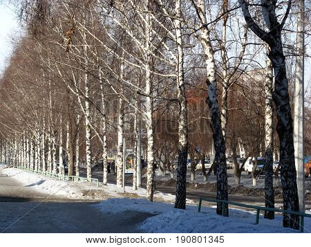 Parallel trunks of birch trees along the sidewalk on a winter street