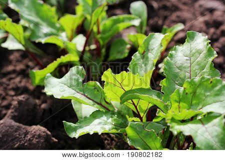 Young green beetroot plans on a path in the vegetable garden .
