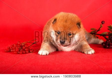 Shiba Inu Puppy On Red Background. Studio Shot