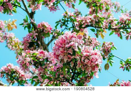 Red Scarlet Flowers Of Apple Trees Against The Blue Sky.