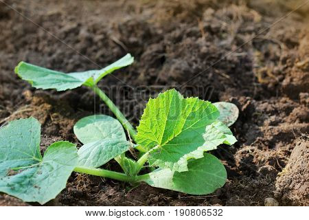 Zucchini seedling growing on a vegetable bed. Cultivation and planting of zucchini.