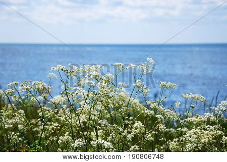 Blossom cow parsley flowers by the coast with clear blue water