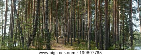 Panorama of pine forest Between two lakes, the path goes into the distance between the straight trunks, summer