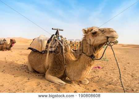 Two camels sitting in the sand of the Sahara desert in Morocco waiting for tourists.