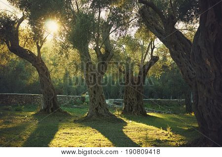 The evening sun illuminates an old olive grove with trees.