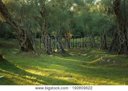 An olive grove with old trees, the setting sun highlights trunks and crowns.