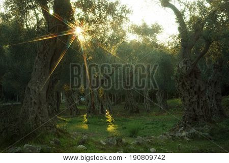 An olive grove with old trees, the setting sun penetrates the crowns.