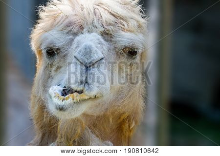 Image of an animal's head of a camel that chews