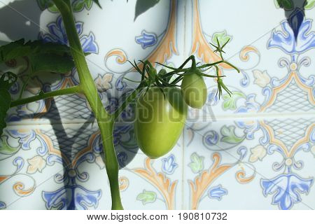 young unripe tomatoes in the home garden
