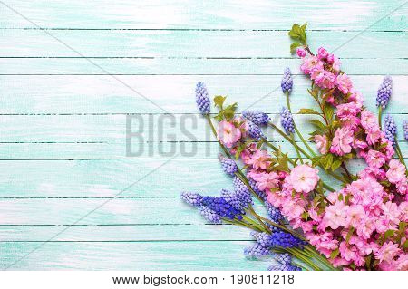 Background with spring flowers. Pink almond and blue muscaries flowers on turquoise wooden background. Place for text. Selective focus.