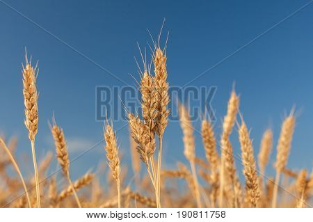 ripened gold cones of wheat on blue sky background, closeup. harvest, agriculture, agronomics, food, production, eco concept. empty space for the text.