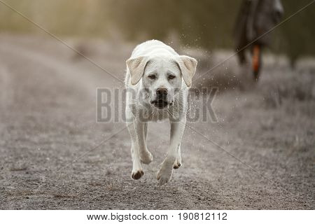 young cute labrador retriever dog puppy running fast in dust
