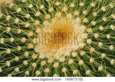 Cactaceae: Echinocactus grusonii or Golden Barrel Cactus, macro.