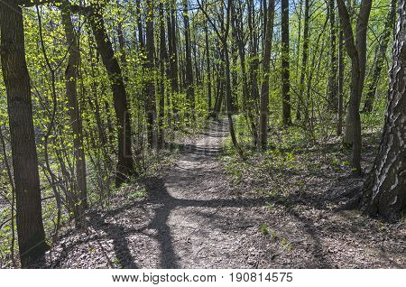 A path in the spring forest. Forest Park Uzkoye Moscow Russia. A sunny day in early May