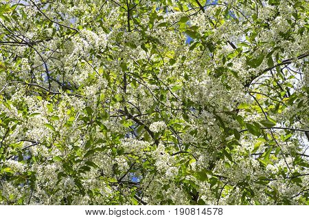 Blooming bird cherry as a background. Early May