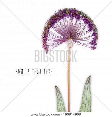 Pressed and dried flower isolated on white blue background. For use in scrapbooking floristry or herbarium.