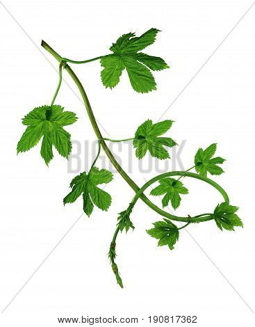 Beer brewing ingredients. Beer brewery concept. Hop tendrils and leaves closeup. Isolated on white background without shadow.