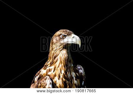 Noble Eagle, Photo On A Black Background