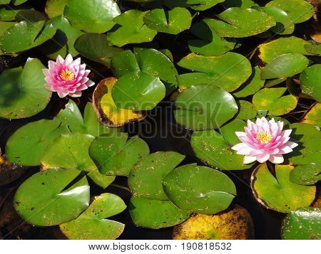 Two pink water lilies floating in a serene pool, surrounded by green lily pads.