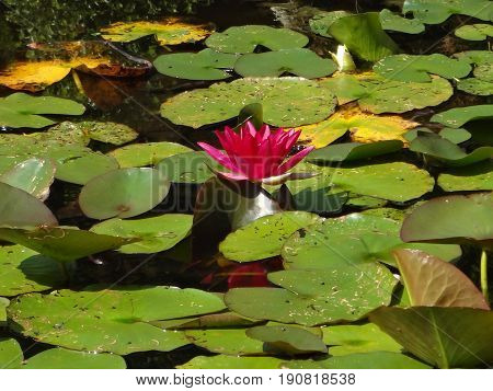A lone pink water lily floating in a pool, surrounded by bright green lily pads.