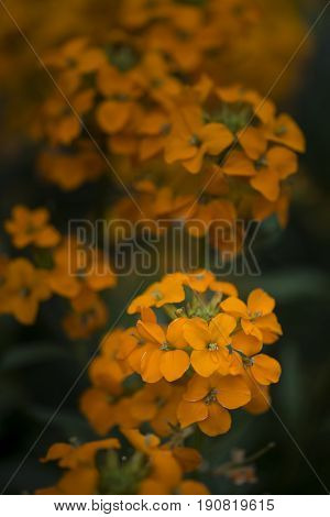 Beautiful Vibrant Orange Apricot Twist Erysimum Brassicaceae Spring Wallflower