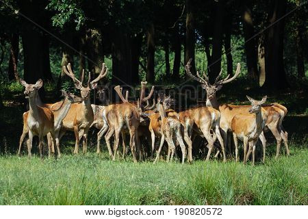 Large group of red deers and hinds walking in forest. Wildlife in natural habitat