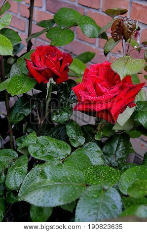 kastrup/Copenhagen /Denmark - 12 June 2017. Red roses flwers and plants. (Photo.Francis Joseph Dean/Deanpictures)