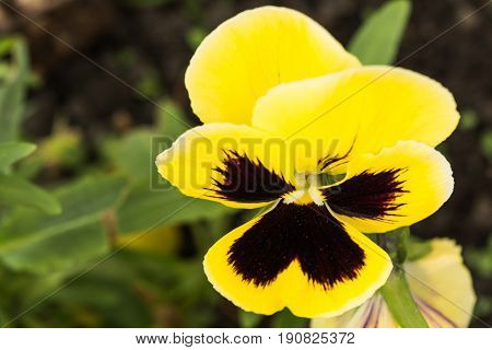 Yellow and black pansie with desaturated surroundings