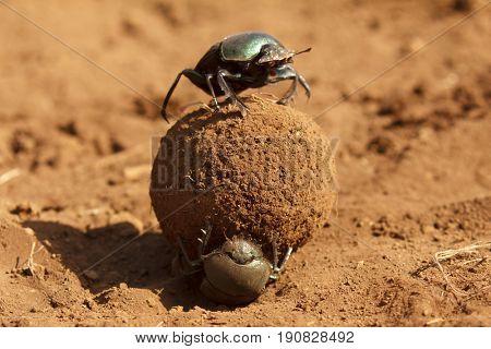 Dung beetles roll dung ball