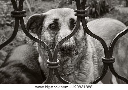 Sad dog behind the fense black and white