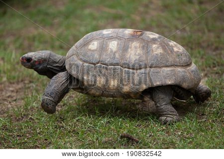 Red-footed tortoise (Chelonoidis carbonaria). Wildlife animal.