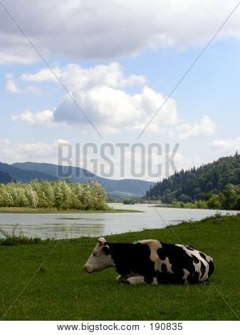 A Cow On The Grass