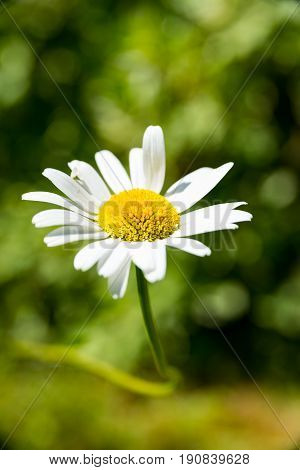 A Single flowers of one marguerites bush in the garden
