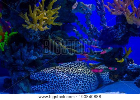 Tropical And Aquarium Moray (wrasse) With Corals In Blue Water. Beautiful Background Of The Underwat