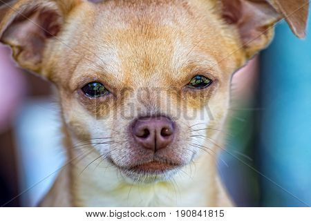 A small and young Chihuahua in the portrait