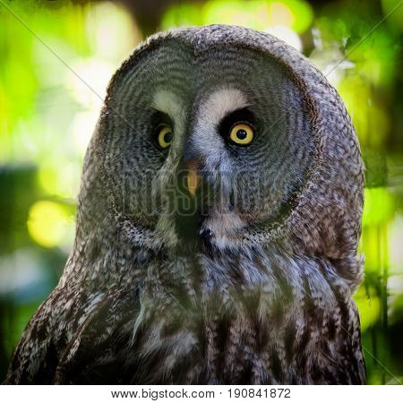 Close up of a great grey owl with beautiful yellow eyes and orange beak with a blurred green background of trees and a vignette.