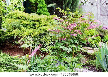 Bleeding Heart flower Dicentra spectabilis in the garden. Selective focus.