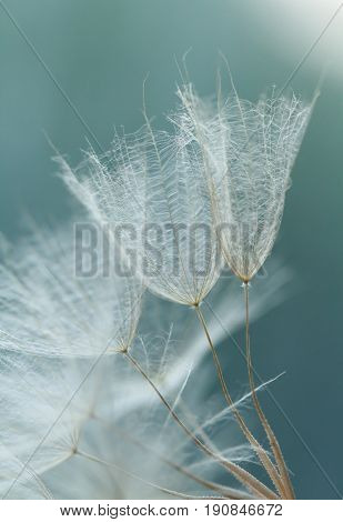 Close-up of dandelion flower seeds with an abstract touch