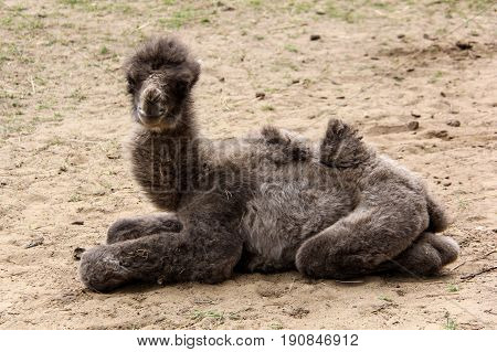 newborn camel two days old zoo latvia