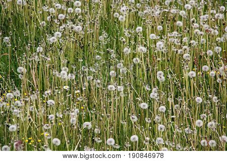 dandelion field white summer abstract bacground texture