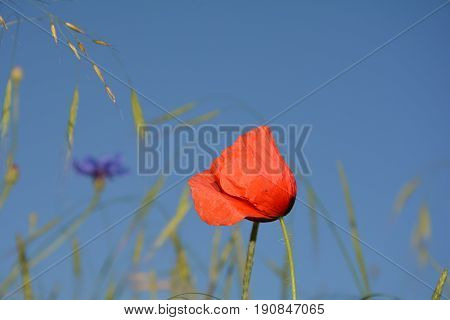 A Clap poppy  (  Papaver rhoeas  )  with many blue sky