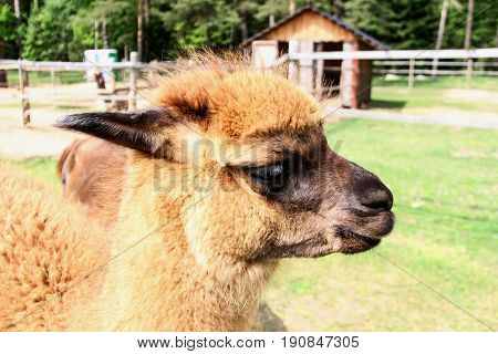 alpaca  llama with funny hairstyle zoo Latvia