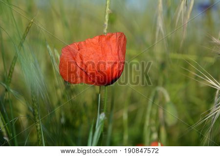 A clap poppy  (  Papaver rhoeas  )  on the meadow